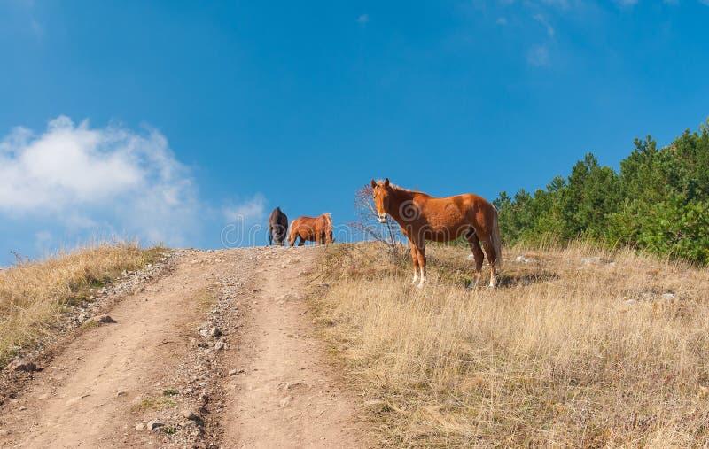 Hästar på ett berg betar Demerdzhi arkivbild