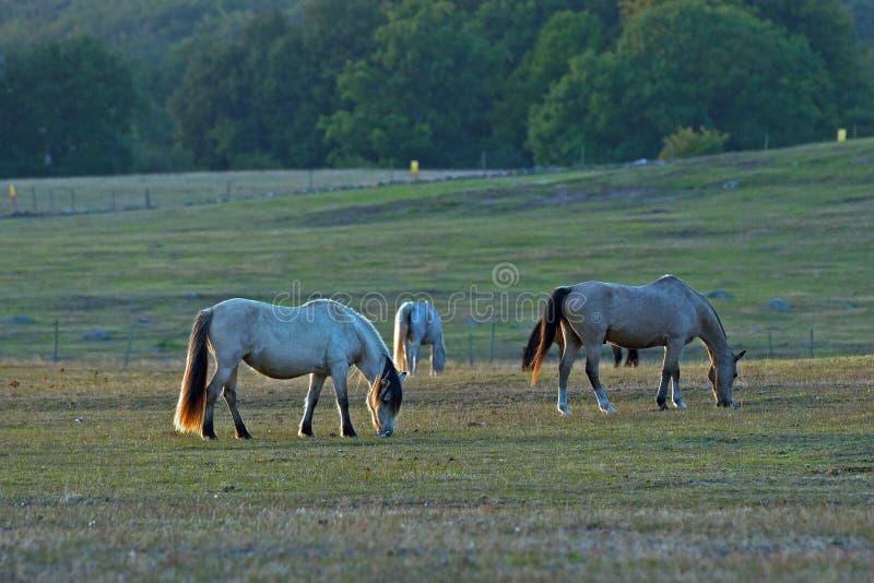 Hästar på ett fält royaltyfria bilder