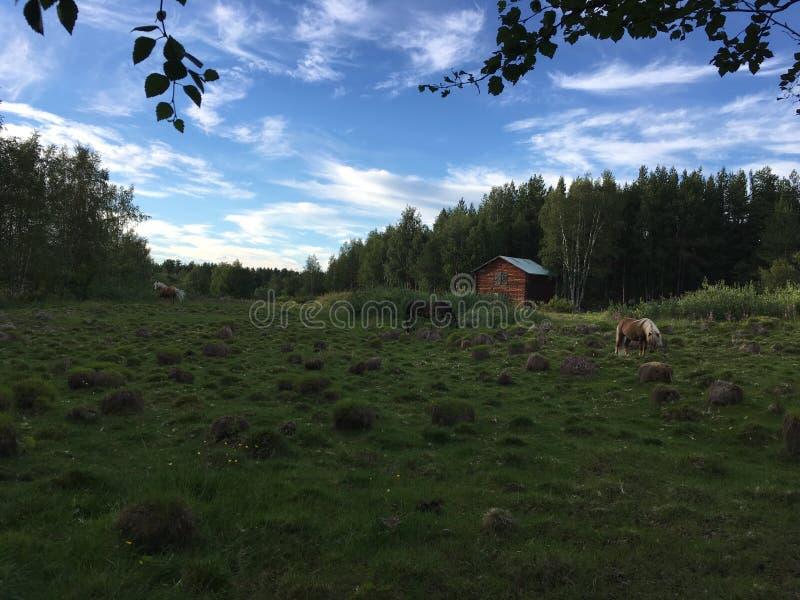 Hästar på ett gräsfält under Sverige sommarnätter arkivfoton