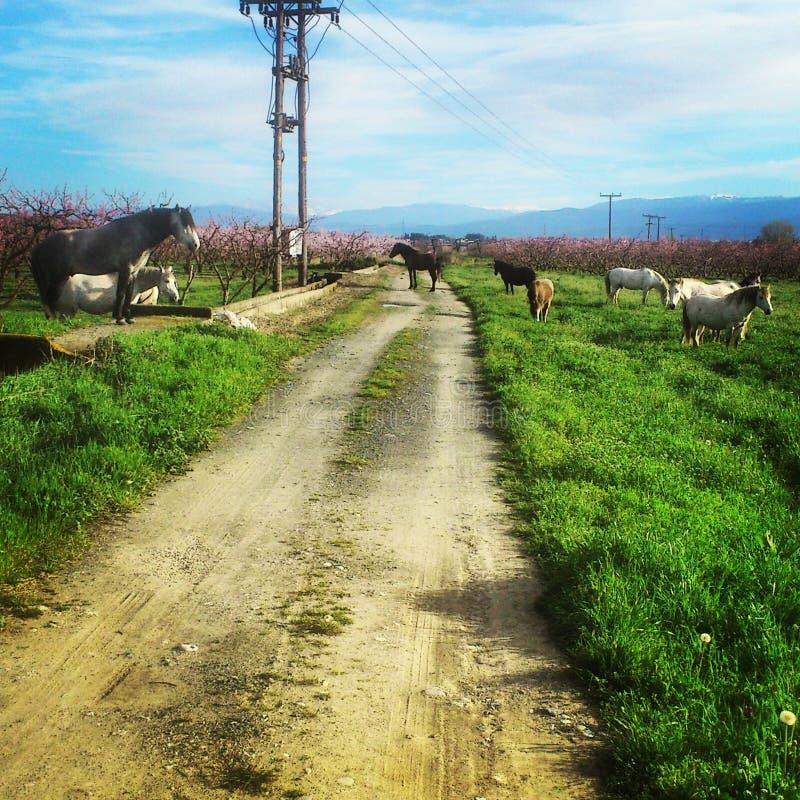 Hästar på fältet royaltyfria foton