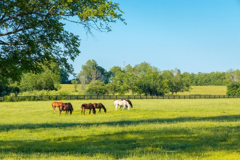 Hästar på gräsplan betar av hästlantgårdar arkivfoto