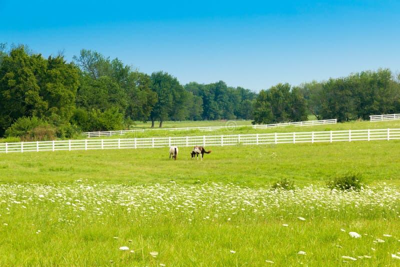 Hästar på gräsplan betar av hästlantgårdar Landssommarlandscap arkivfoton