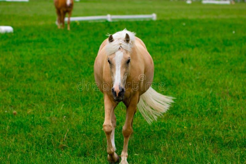 Hästar på hästlantgården på den guld- timmen Landssommarlandskap fotografering för bildbyråer