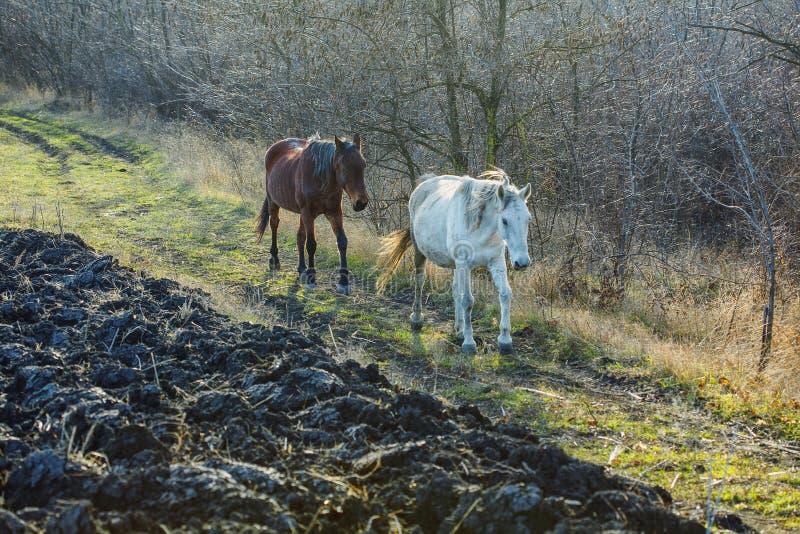 Hästar på landsvägen royaltyfri foto