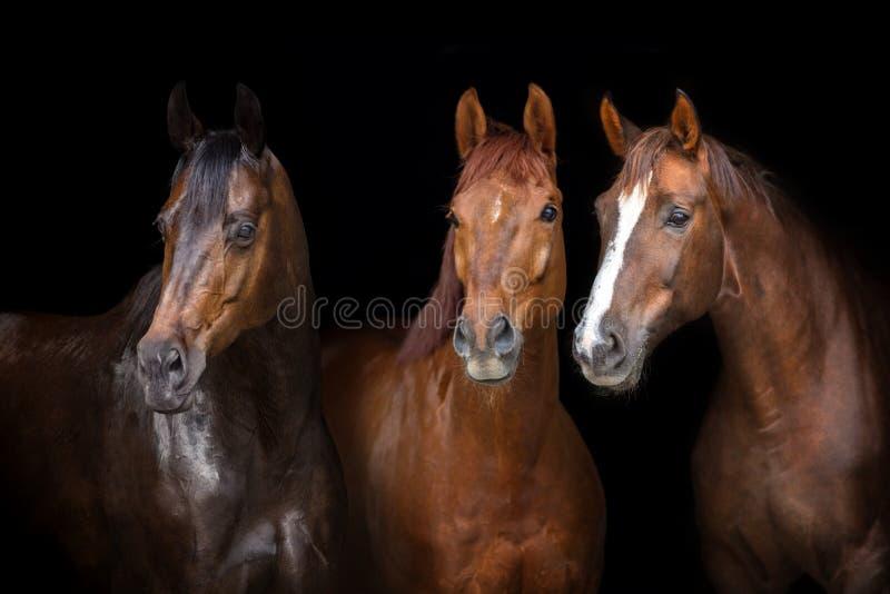 Hästar på svart arkivfoton