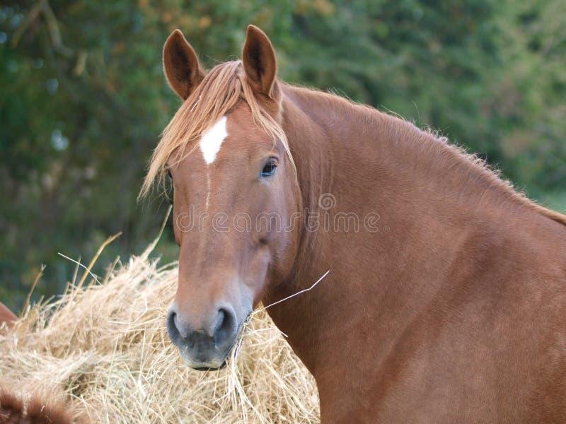Hästar som äter hö royaltyfria bilder
