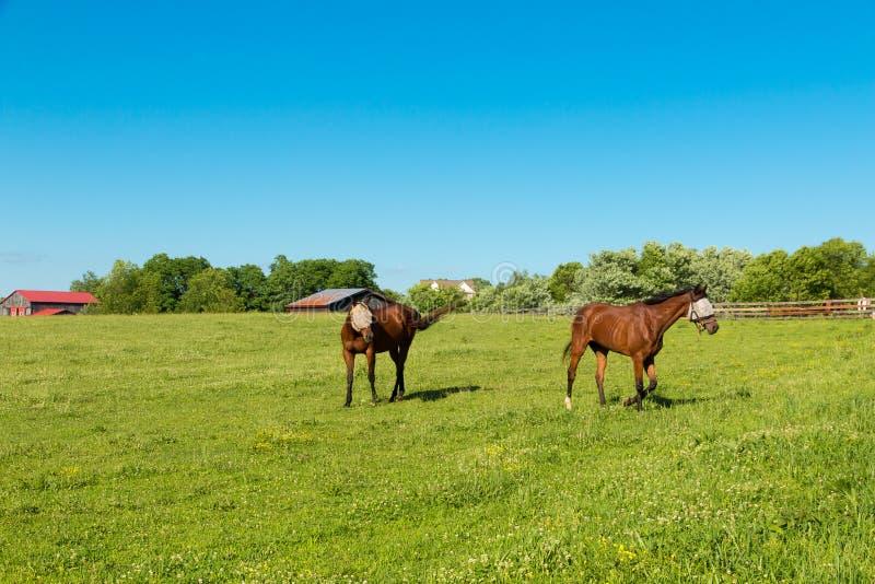 Hästar som bär flugamaskeringarna på gräsplan, betar av hästlantgårdar royaltyfri fotografi