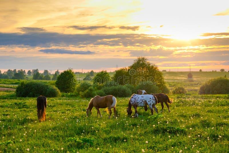 Hästar som betar i ängen på solnedgången arkivfoton