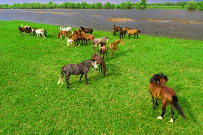 Hästar som betar i en äng bredvid en flod ovanf?r sikt fotografering för bildbyråer