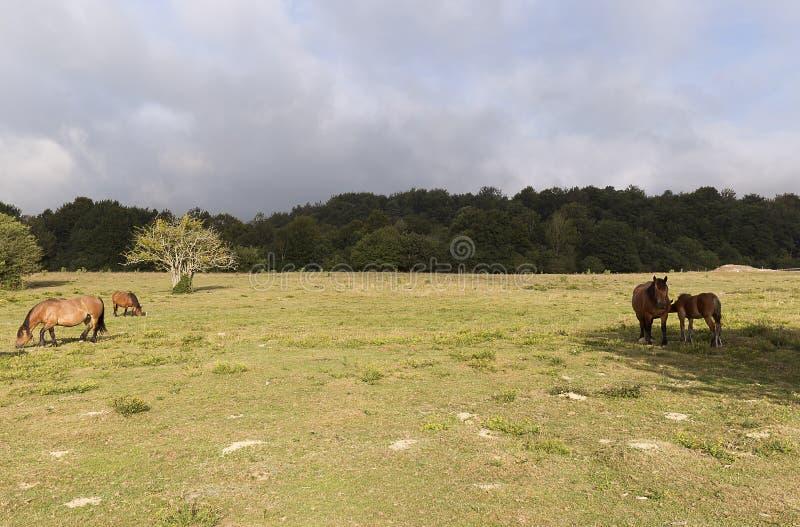 Hästar som betar i sommar i Navarra arkivfoton
