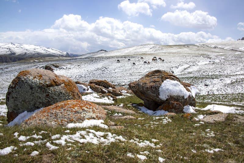 Hästar som betar på ett snöig, betar På horisonten snö-korkade berg Himlen i molnen kyrgyzstan fotografering för bildbyråer