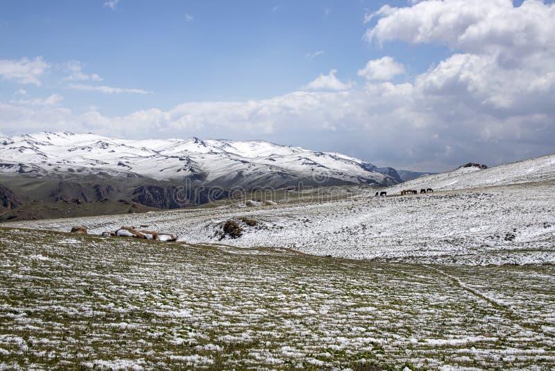 Hästar som betar på ett snöig, betar På horisonten snö-korkade berg Himlen i molnen Resor kyrgyzstan arkivfoton