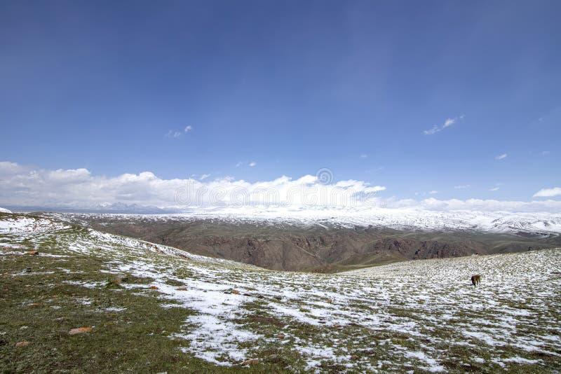 Hästar som betar på ett snöig, betar På horisonten snö-korkade berg Himlen i molnen Resor kyrgyzstan royaltyfri foto