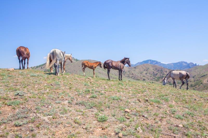 Hästar som betar på kullen arkivbild