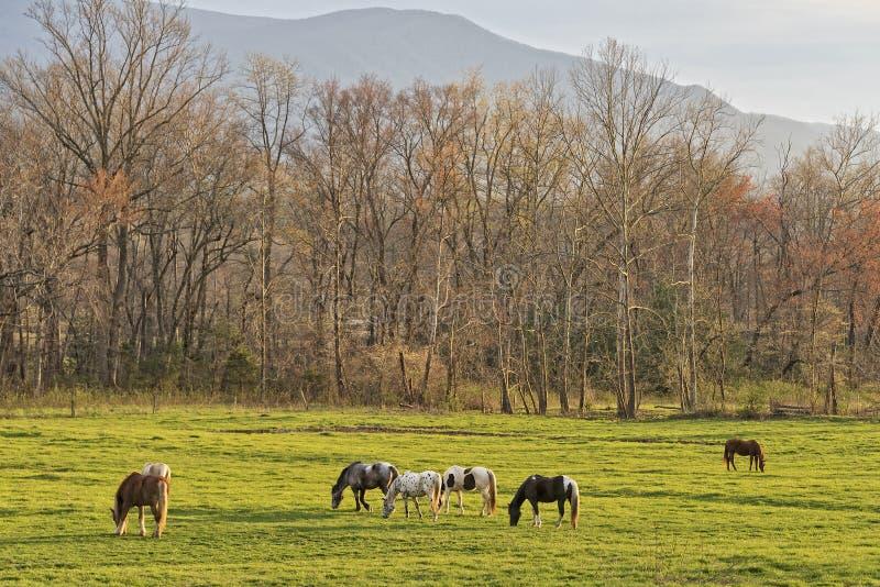 Hästar som betar på solnedgången i den Cades lilla viken royaltyfri fotografi