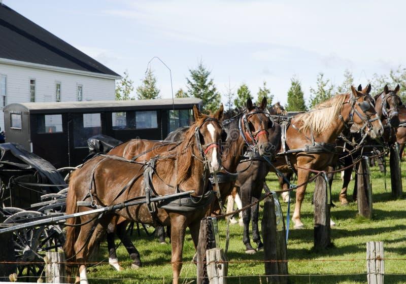 Hästar som binds till en p arkivfoto