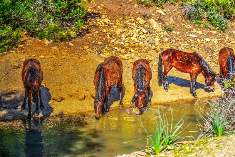 Hästar som dricker från en liten liten vik arkivbilder