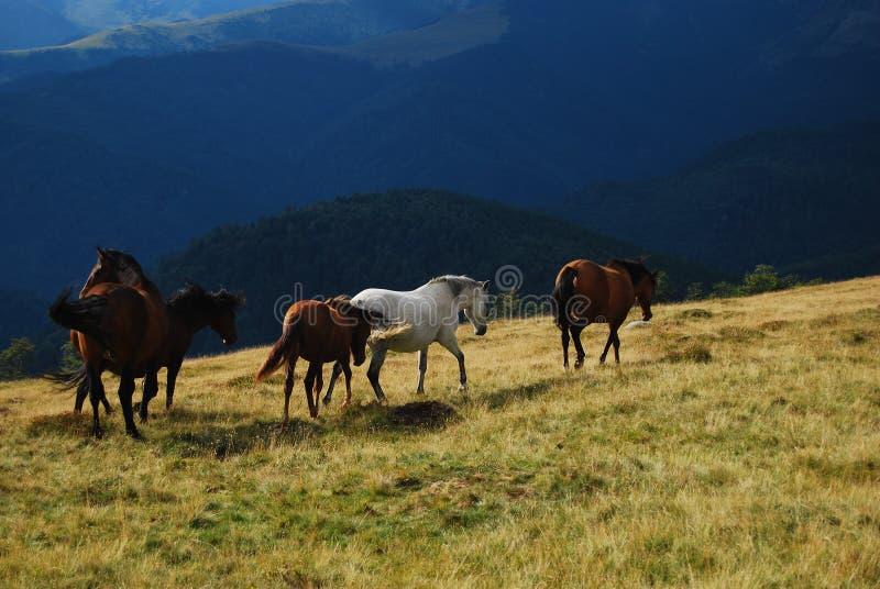 Hästar som kör med berglandskap arkivbilder