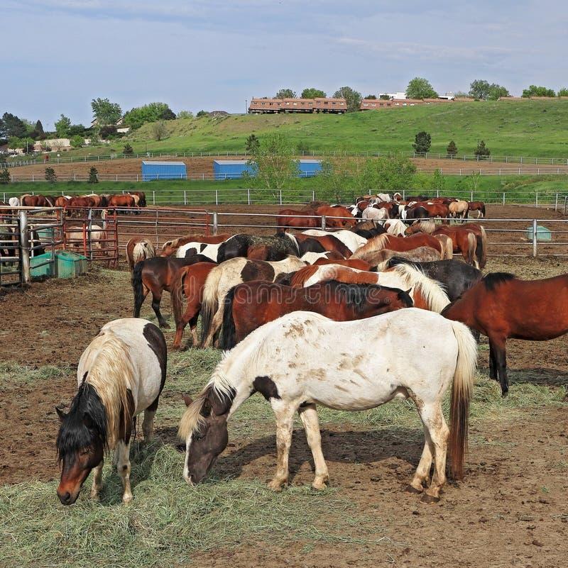 Hästar som matar på ranchen på en sen vårafton arkivbilder