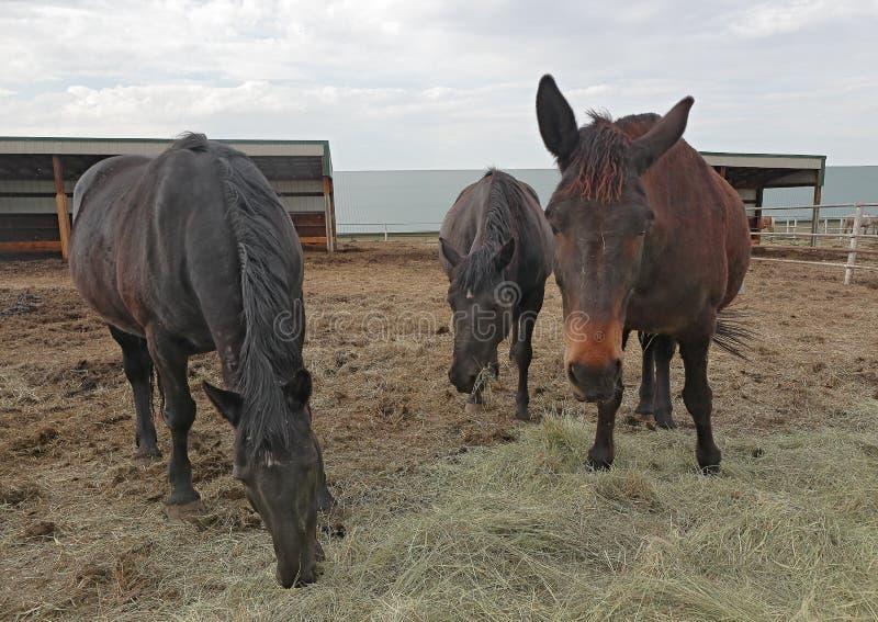 Hästar som matar på ranchen på en sen vårafton arkivfoton