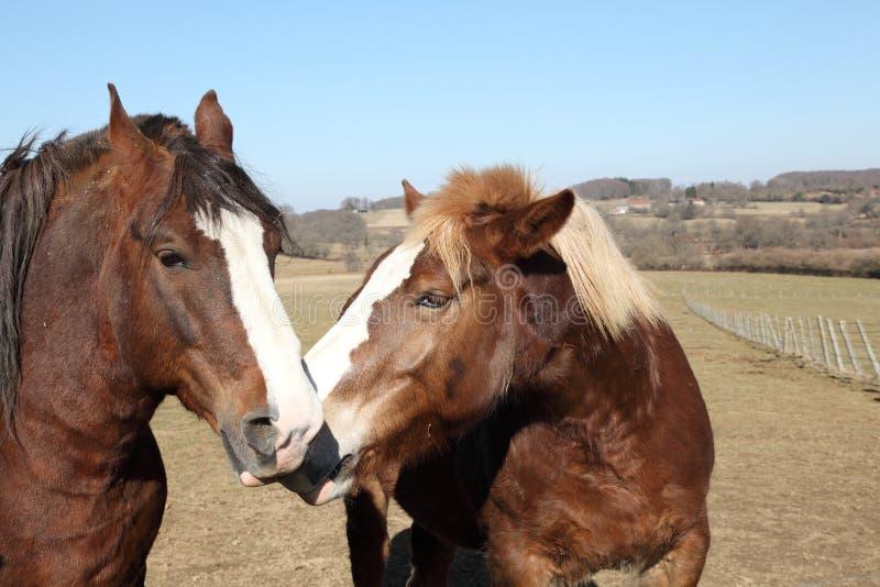 hästar som nuzzling två arkivbild