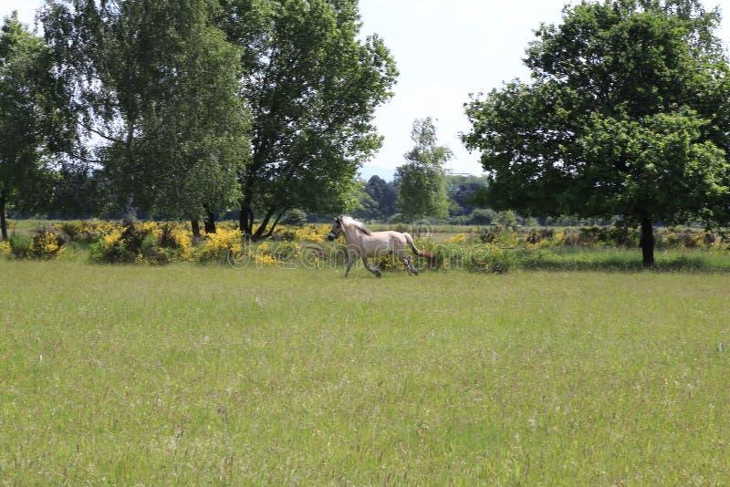Hästar som stöter ihop med fälten i sanddyerna, naturreserv i Baden-Baden Sandweier arkivbild