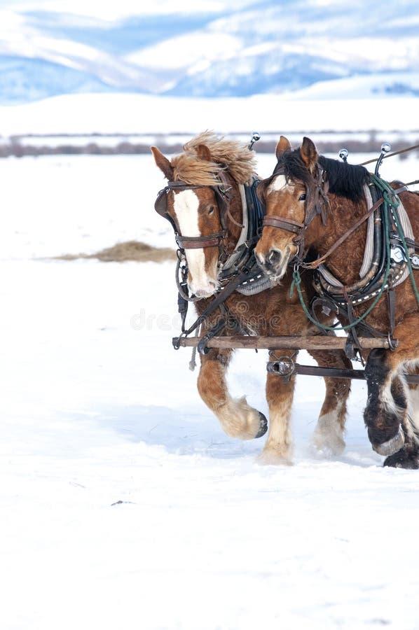 Hästar som tillsammans drar i snön royaltyfri foto