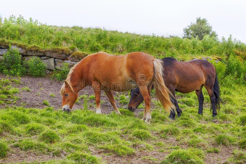 Hästar står på ett fält för grönt gräs på en dimmig dag för sommar royaltyfria foton