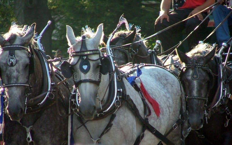 hästar ståtar arkivfoto