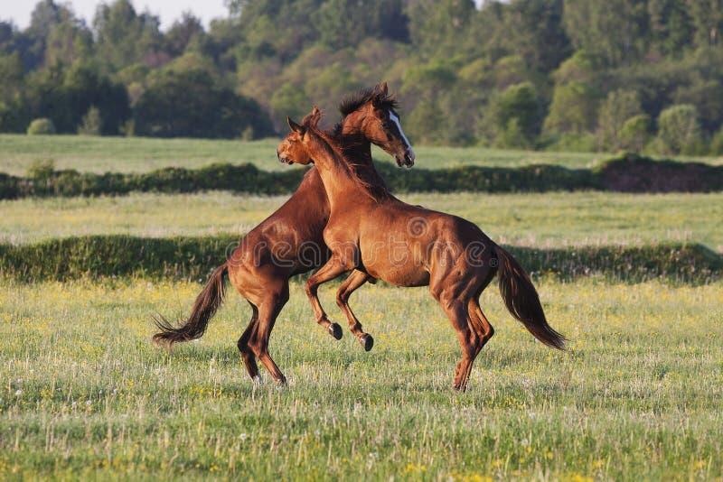 Hästar stojar i ett fält royaltyfria foton