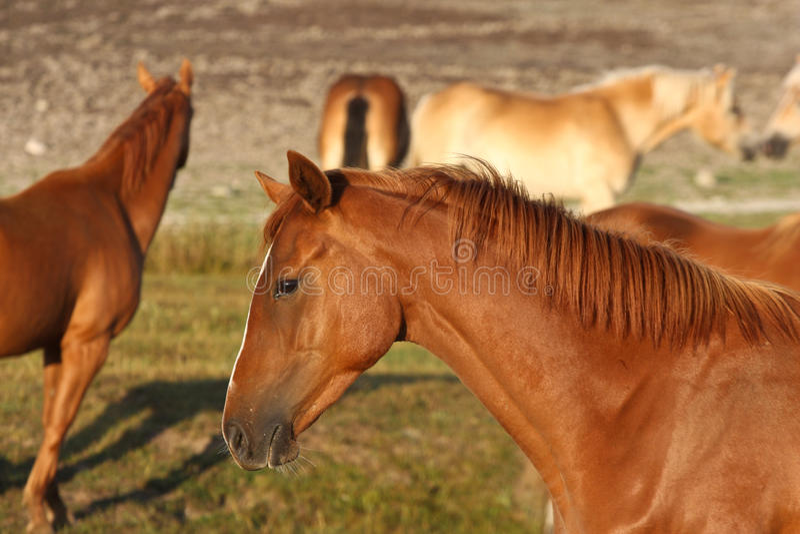 hästar sweden arkivfoto