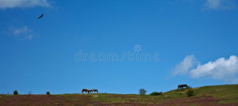 hästar sweden royaltyfria bilder