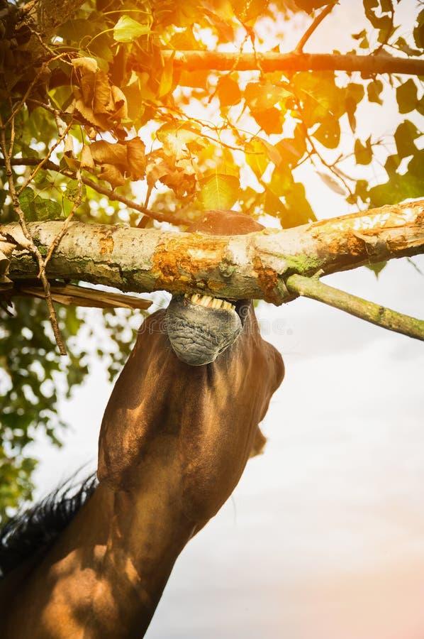 Hästen äter det wood skället av trädet fotografering för bildbyråer