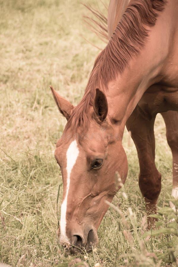 Hästen äter gräs i betar royaltyfri foto
