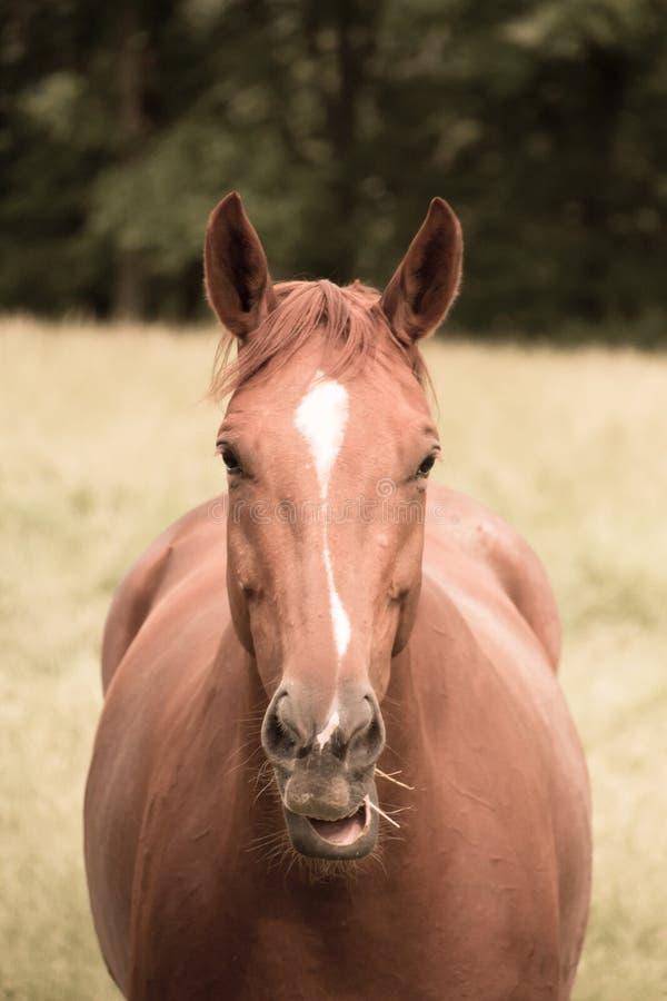 Hästen äter gräs i betar arkivbild