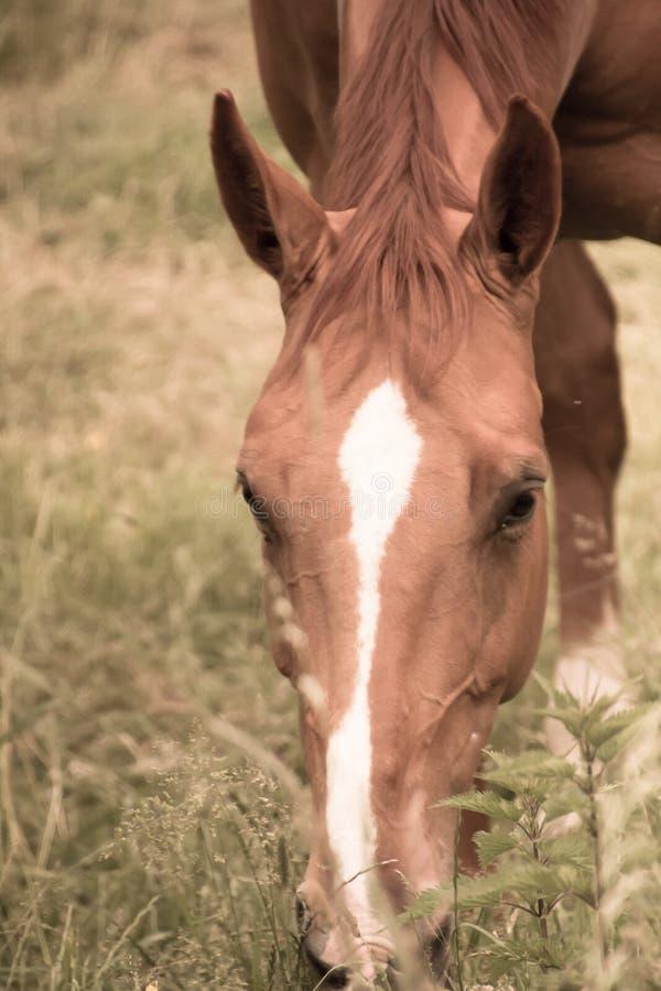 Hästen äter gräs i betar royaltyfria foton
