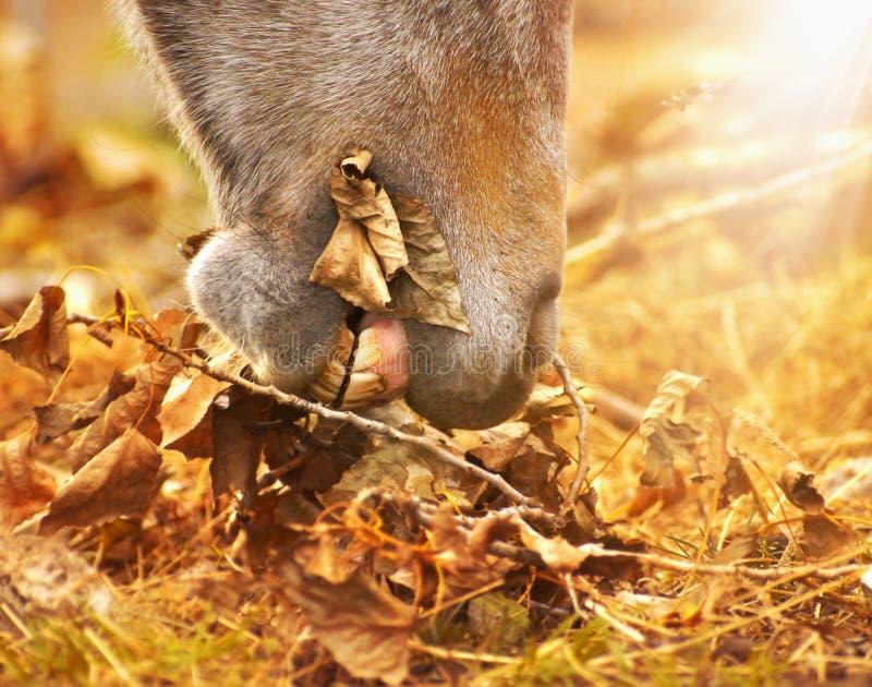 Hästen äter höstsidor arkivfoton