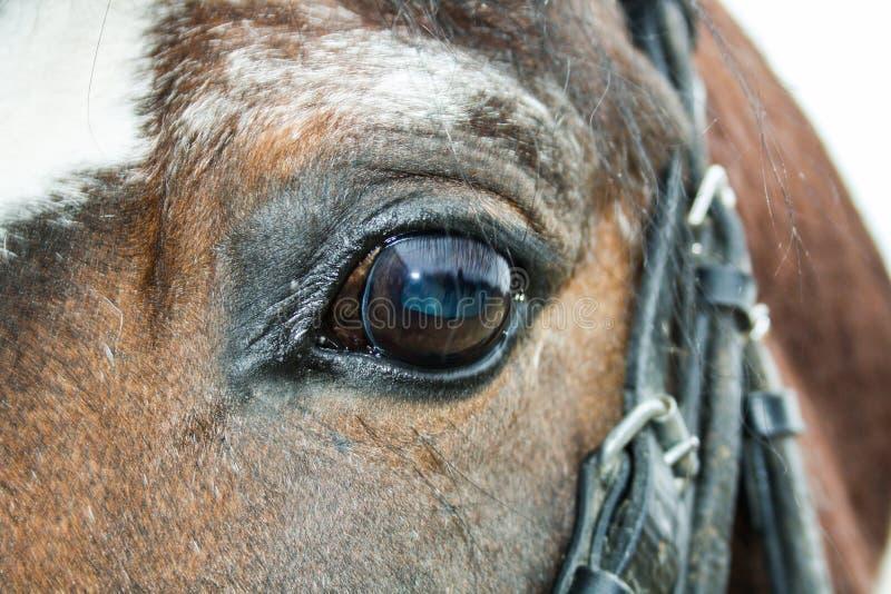 Hästen arkivfoton