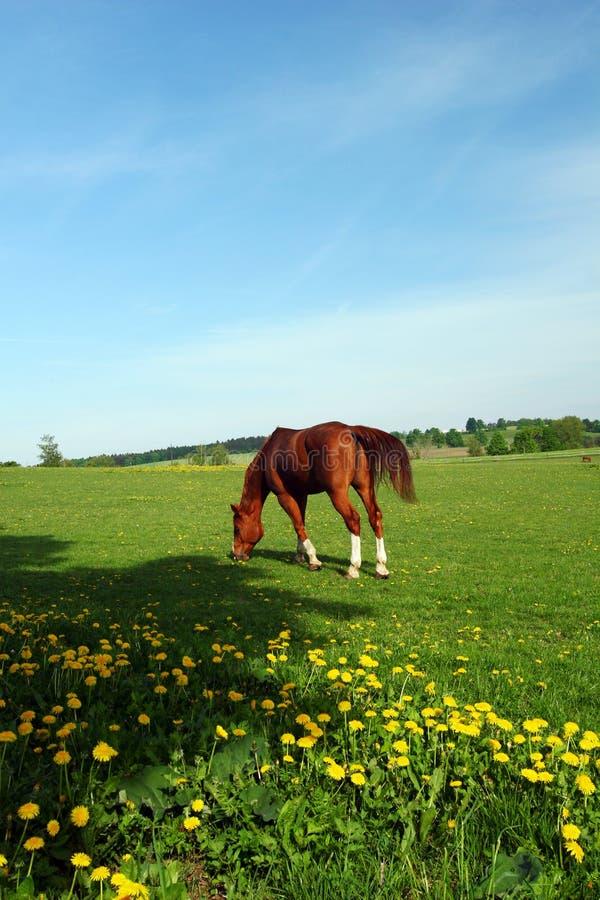 hästen betar fjädern arkivfoto