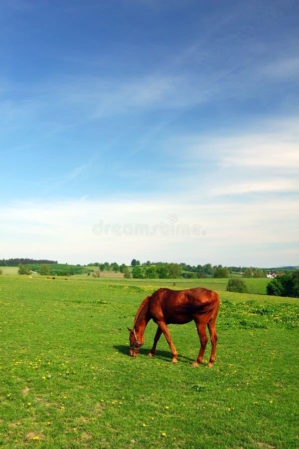 hästen betar fjädern royaltyfri foto