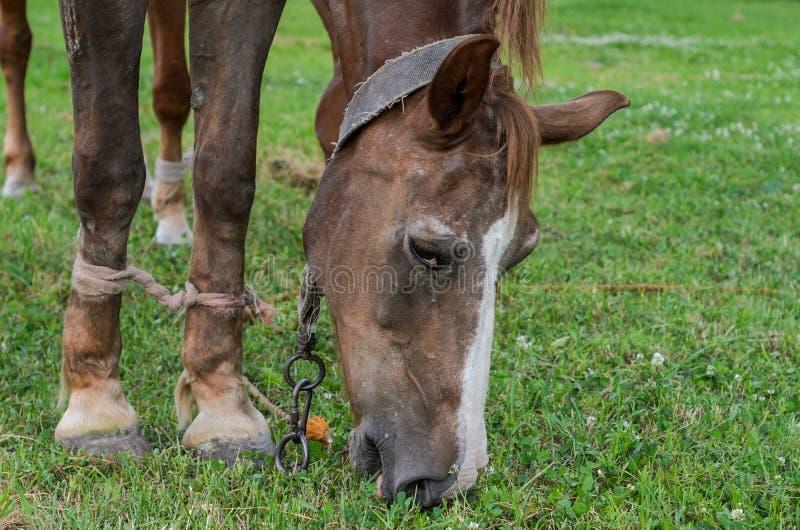 Hästen betar på fältet och äter gräs fotografering för bildbyråer