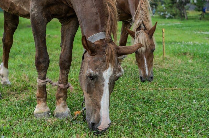 Hästen betar på fältet och äter gräs arkivbild