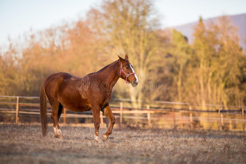 Hästen betar på i varmt aftonljus arkivfoto