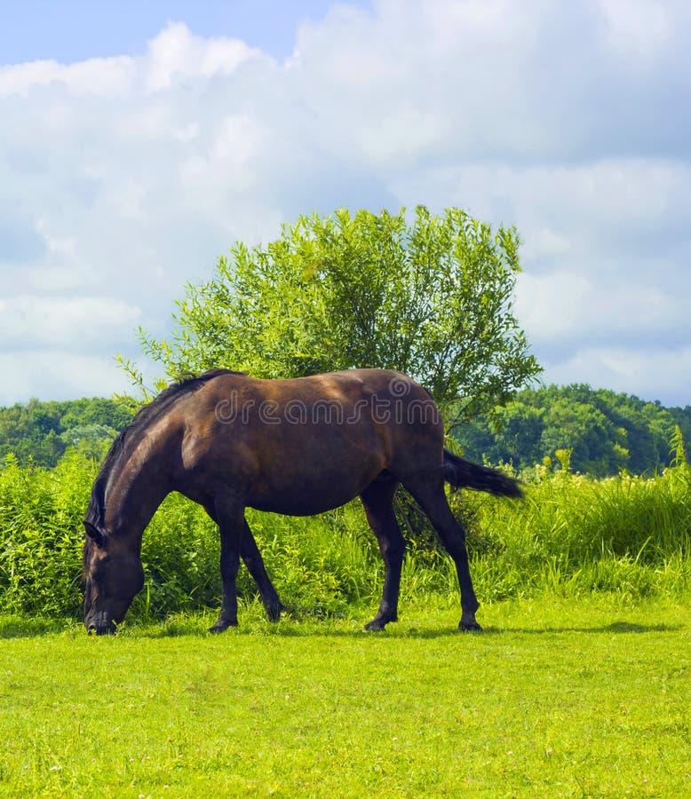 Hästen för mörk brunt går, och beta på beta i by arkivfoto