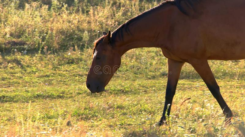 Hästen går på gräs royaltyfri fotografi