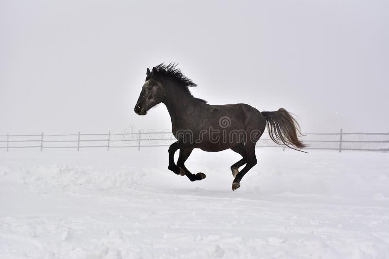 Hästen galopperar i vinter royaltyfri fotografi