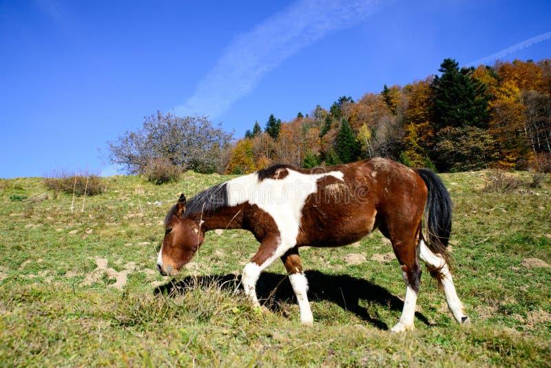 Hästen i berget betar till säsongen av hösten fotografering för bildbyråer