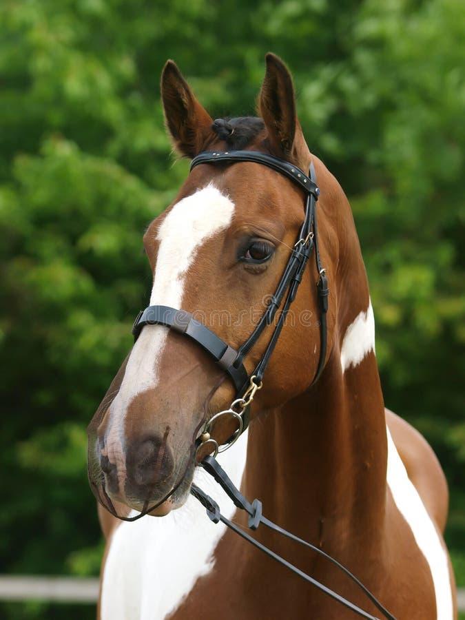 Hästen i näsa förtjänar royaltyfri foto