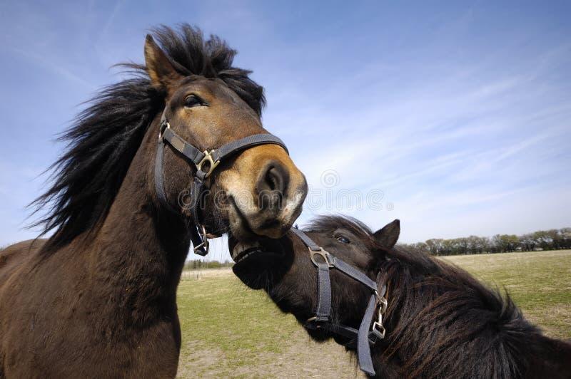 Hästen kopplar ihop