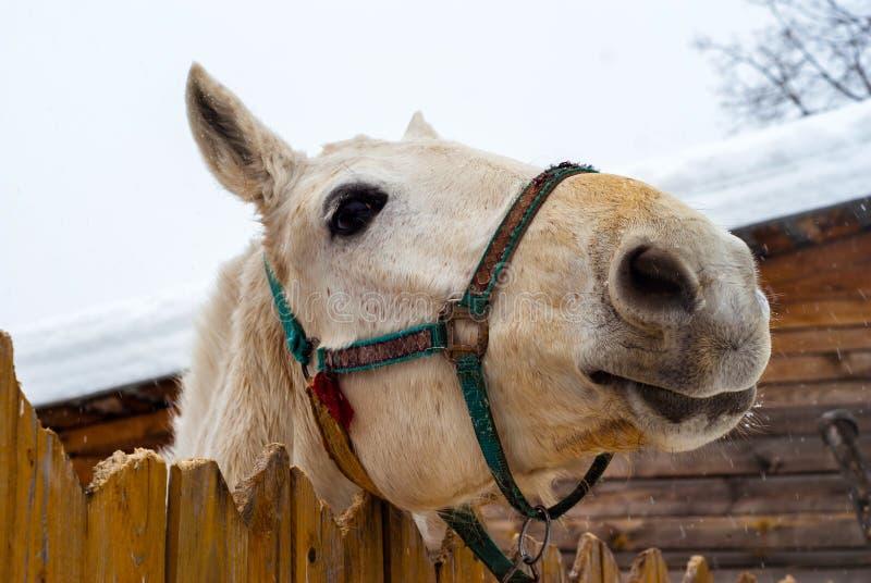Hästen ser ut bakifrån staketet royaltyfria bilder